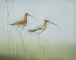 Curlews, Eden Estuary