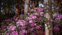 Treecreeper and Rhododendrons