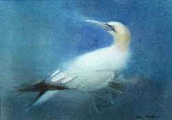Gannet by Claire Harkess RSW