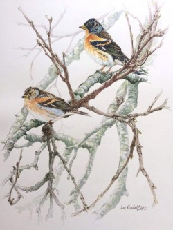 Brambling in Birch