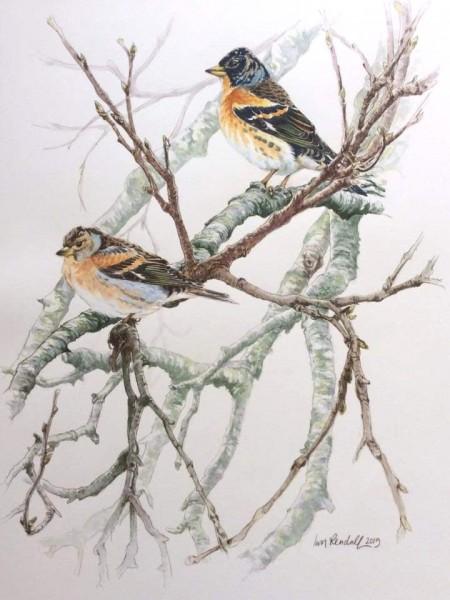 Brambling in Birch