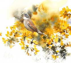 Whitethroat on Gorse