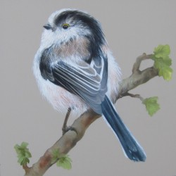 Study of a Long Tailed Tit