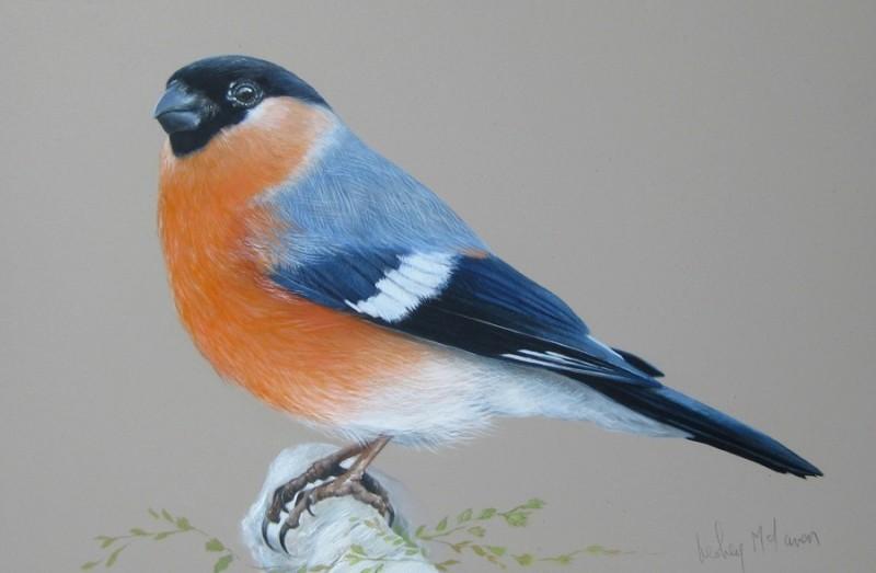 Male Bullfinch by Lesley McLaren