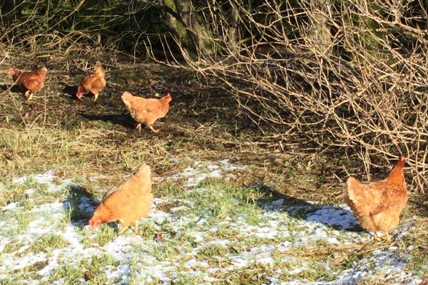 Hens at Tolquhon