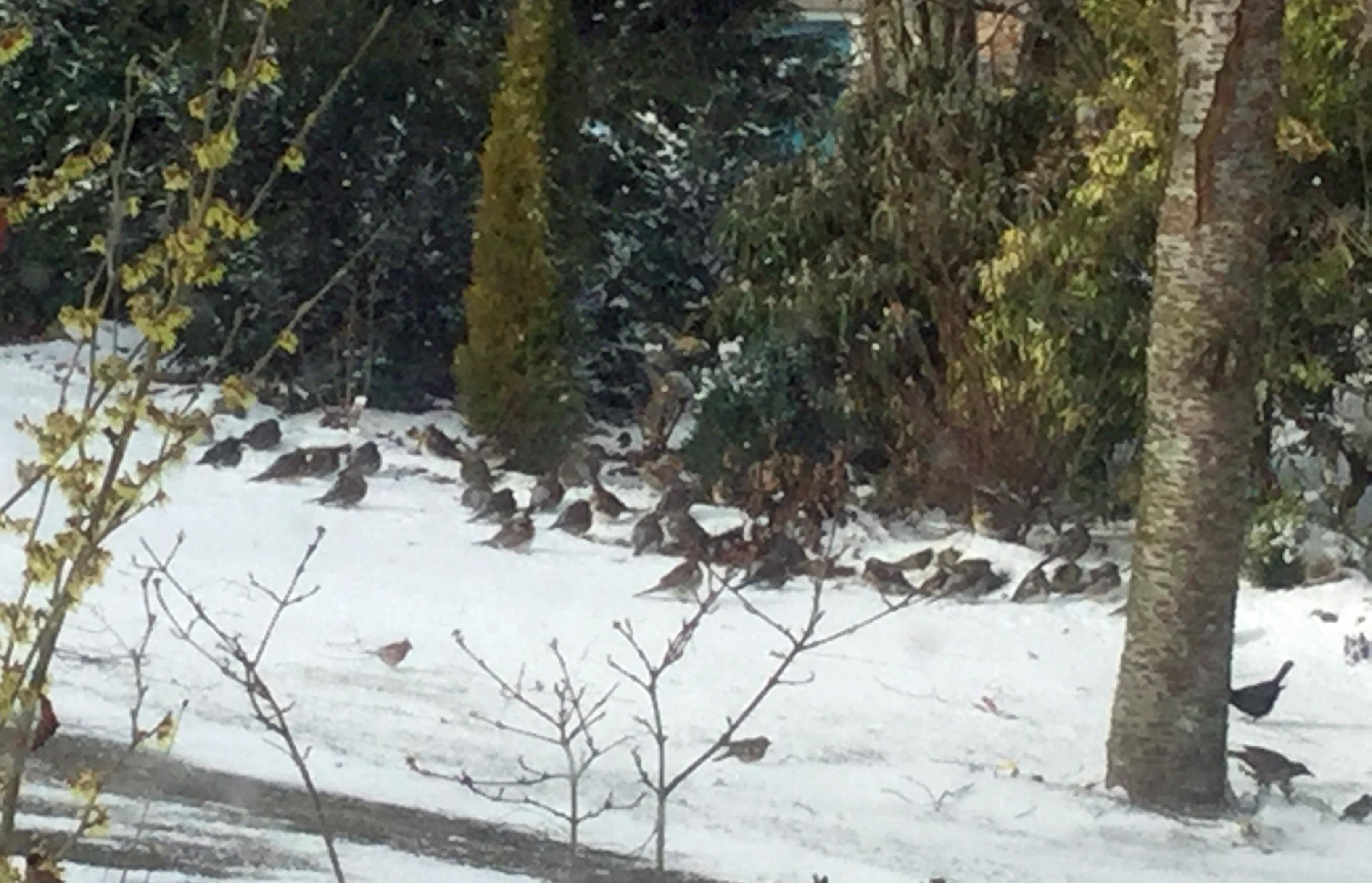 Winter fieldfares